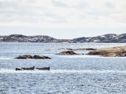 Två sälar ute till havs i Bohuslän en kall dag på västkusten utanför Strömstad.